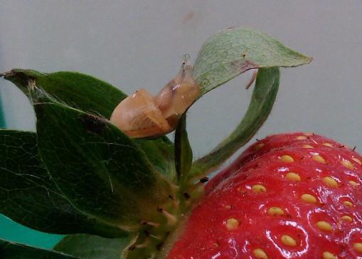 Caragol fresa